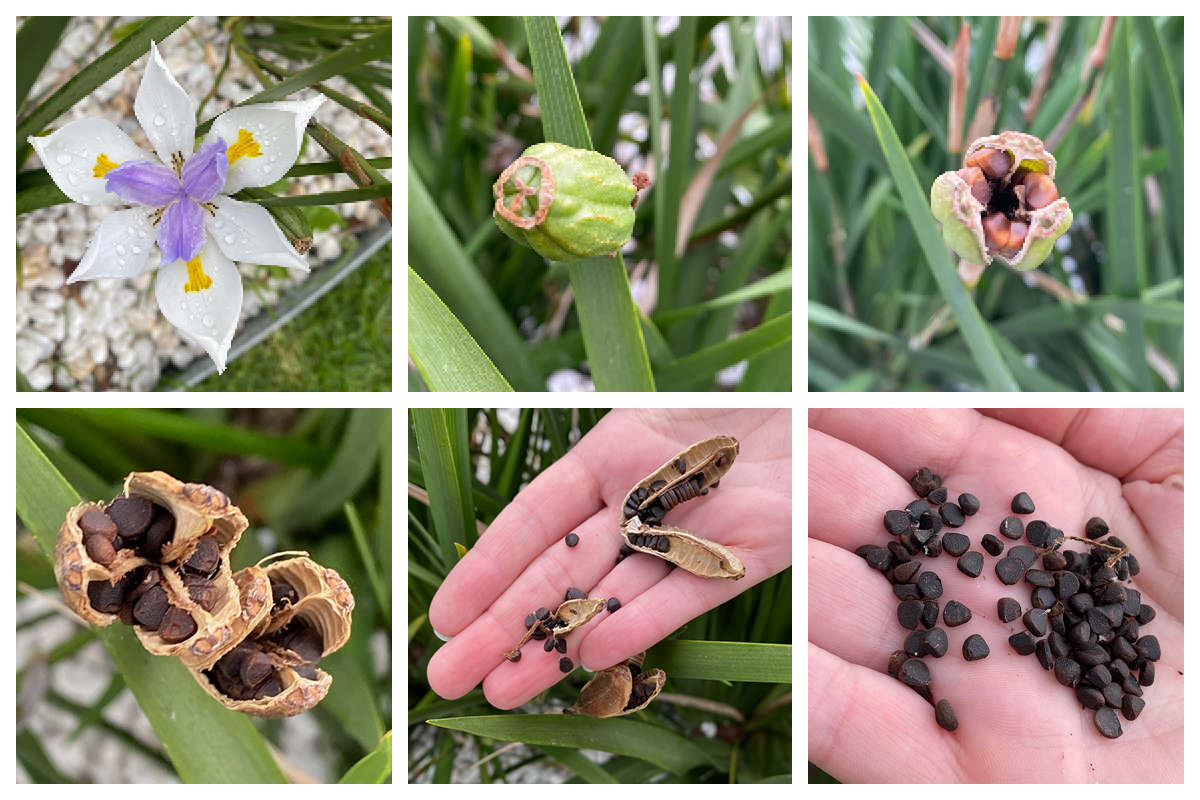 How to Cultivate Seeds from a Fairy Iris Flower